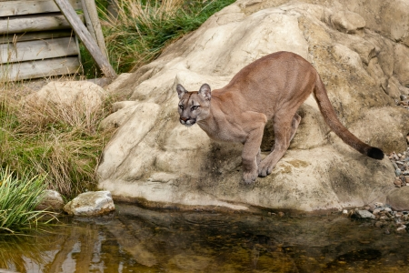 Puma Crouching About to Jump off Rock Felis Concolor photo