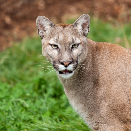 Testa Ritratto Colpo di Bella Puma Felis Concolor Archivio Fotografico