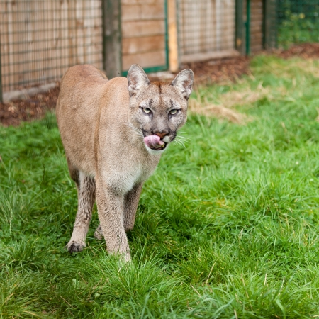 Prowling Puma Licking Lips in Enclosure Felis Concolor photo
