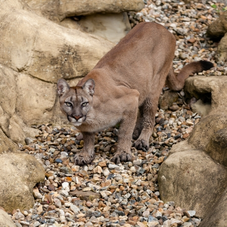 Puma on Rock Crouching Ready to Pounce Felis Concolor photo