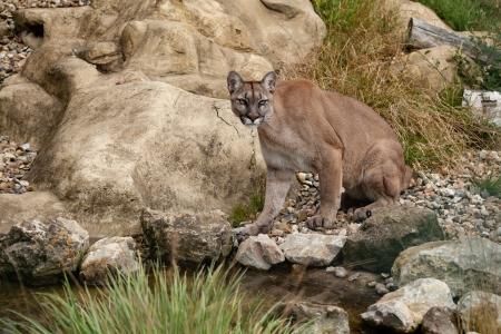 Puma Sitting on Rocks Felis Concolor photo