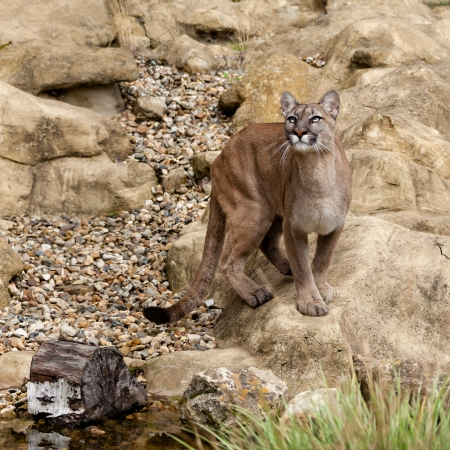 cougar: Puma Standing on Rock Gazing Upwards Felis Concolor Stock Photo