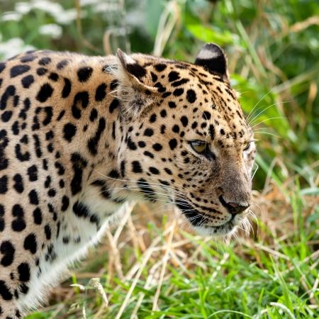 leopard head: Portrait Head Shot of Adult Amur Leopard Panthera Pardus Orientalis Stock Photo