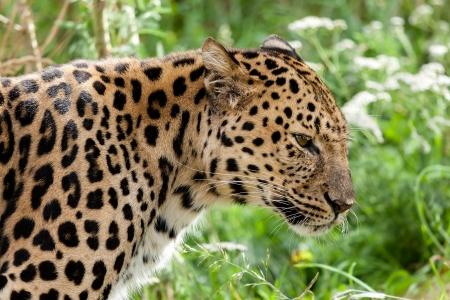 leopard head: Profile Head Shot of Back Lit Amur Leopard Panthera Pardus Orientalis