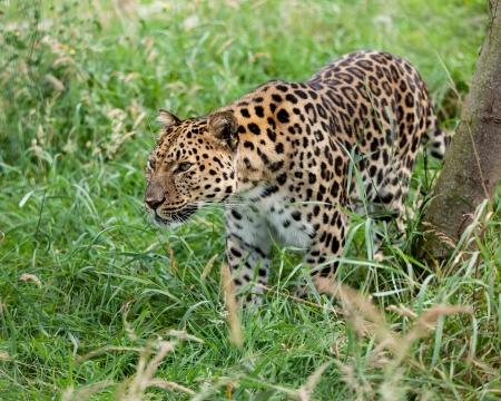 prowling: Amur Leopard Prowling through Long Grass Panthera Pardus Orientalis Stock Photo