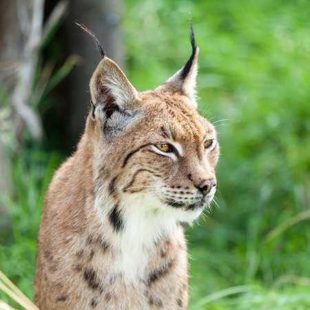 vicious: Head Shot Portait of Eurasian Lynx against Greenery Stock Photo