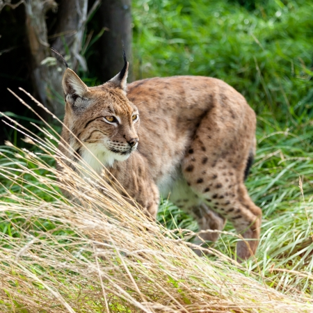 prowling: Portrait of Eurasian Lynx Prowling through Long Grass
