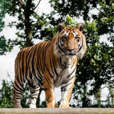 panthera tigris: Mature Bengal Tiger Standing on Wooden Platform Panthera Tigris