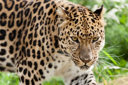 leopard: Head Shot of Amur Leopard Stalking Forwards Panthera Pardus Orientalis