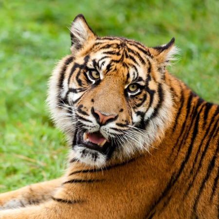 growling: Head Shot of Growling Sumatran Tiger Panthera Tigris Sumatrae