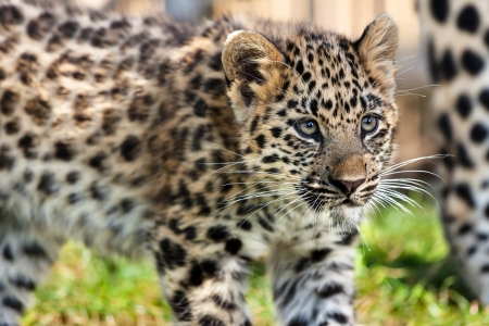 leopard: Close up of Cute Baby Amur Leopard Cub Panthera Pardus Orientalis Stock Photo