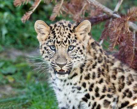 Portrait of Cute Baby Amur Leopard Cub Panthera Pardus Orientalis photo