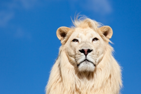 Head Portrait of Majestic White Lion against Blue Sky with Copy Space Stock Photo