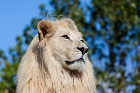 panthera leo: Head Shot Portrait of White Lion against Trees Panthera Leo