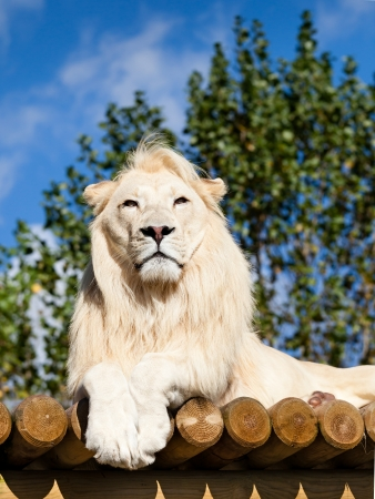 White Lion Posing on Sunny Wooden Platform Panthera Leo Stock Photo