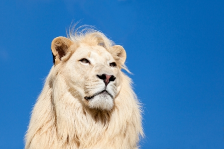 Head Shot Portait of Majestic White Lion against Blue Sky Panthera Leo
