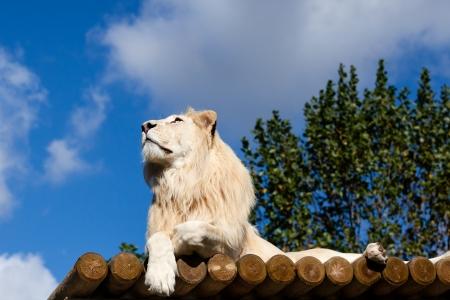 panthera leo: White Lion on Wooden Platform Looking Up at Blue Sky Panthera Leo Stock Photo