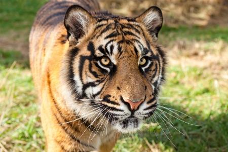 panthera tigris: Close up of Sumatran Tiger in Afternoon Sunshine Panthera Tigris Sumatrae Stock Photo