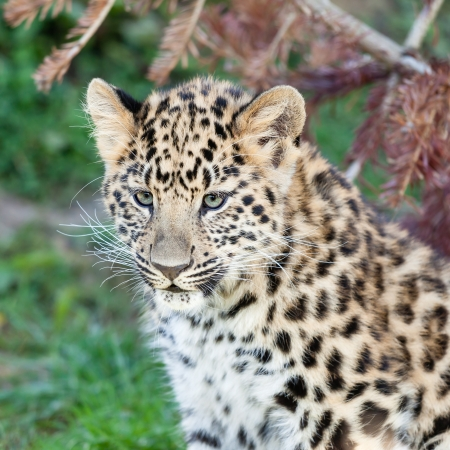 Head Shot of Adorable Baby Amur Leopard Cub Panthera Pardus Orientalis photo