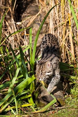 sneaking: Fishing Cat Sneaking through Long Grass Prionailurus Viverrinus Stock Photo