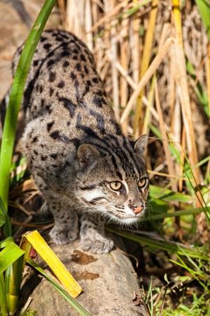 prionailurus: Fishing Cat Stalking through Long Grass Prionaliurus Viverrinus