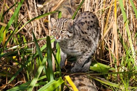 prionailurus: Fishing Cat Hunting in Long Grass Prionailurus Viverrinus
