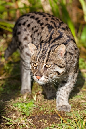 Fishing Cat Prowling in Afternoon Sunshine Prionailurus viverrinus