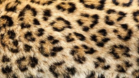 Real Live nord de la Chine Leopard Skin Texture Panthera Pardus japonensis