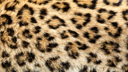 spotted fur: Real Live North Chinese Leopard Skin Texture Background Panthera Pardus Japonensis Stock Photo