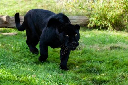 stalking: Black Jaguar Stalking through Grass Panthera Onca