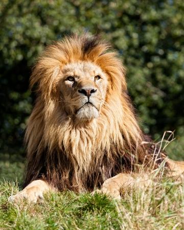 panthera leo: Proud Majestic Lion Sitting in Grass Panthera Leo