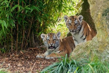 tigre cachorro: Dos adorables Amur Tiger Cubs Hiding en Shelter Panthera Tigris Alta Foto de archivo