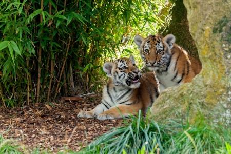 tigre cachorro: Dos lindos Amur Tiger Cubs en Rocky Panthera tigris altaica Shelter