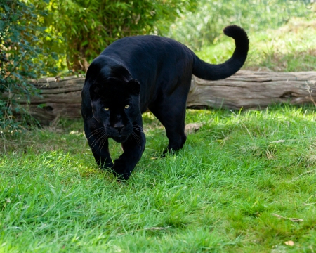 Angry Black Jaguar Stalking Forward Panthera Onca photo