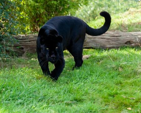 stalking: Angry Black Jaguar Stalking Forward Panthera Onca