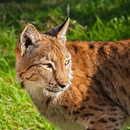 Head Shot of Eurasian Lynx Looking Over Shoulder in Afternoon Sunshine Stock Photo