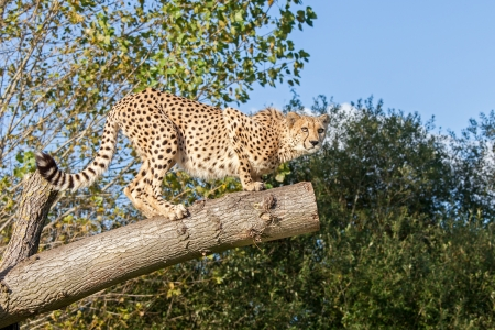 Cheetah Crouching on a Tree Branch Acinonyx Jubatus Stock Photo