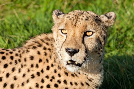 Head Shot of Beautiful Cheetah in Afternoon Sun Acinonyx Jubatus photo