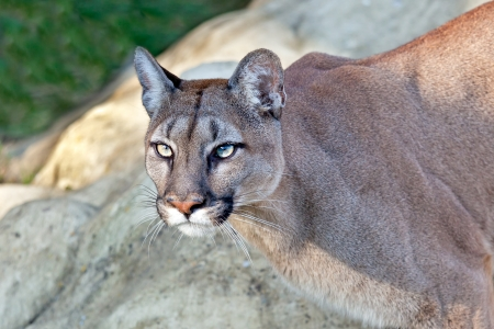 Head Shot of Beautiful Puma in Afternoon Sun Felis Concolor Stock Photo