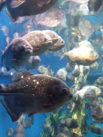 piranha: Piranha in the aquarium Stock Photo