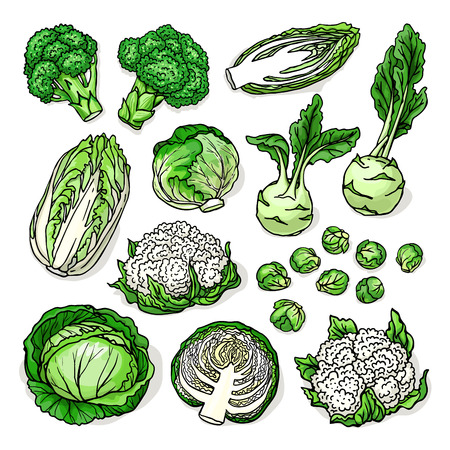 Vector sketch of healthy fresh cruciferous vegetables with cabbage, broccoli, cauliflower, brussels sprouts, kohlrabi, isolated on white background