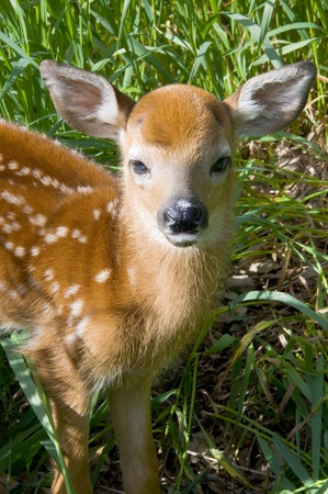 whitetail deer: Baby Whitetail Deer Stock Photo