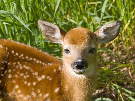 fawn: Deer Fawn Stock Photo