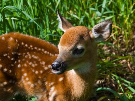 mule deer: Baby Whitetail Deer Stock Photo
