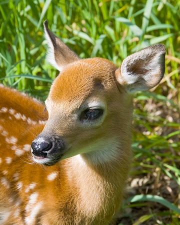 Whitetail Deer Fawn photo