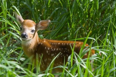 Deer Fawn in hiding place