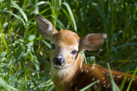 whitetail deer: Whitetail Deer Fawn