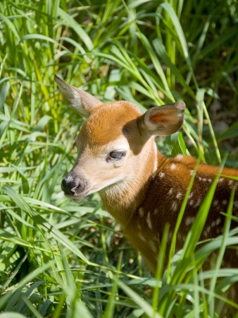 fawn: Deer Fawn in hiding place