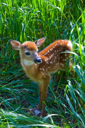 whitetail buck: Whitetail Deer Fawn in tall grass