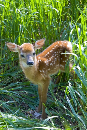 Deer Fawn stepping out of tall grass Stock Photo